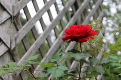 rose ensling royaltyfri foto