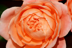 Rose entrant dans la fleur Photo stock