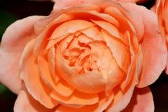 Rose entrant dans la fleur Photo stock