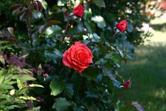 Rose entre las plantas Fotografía de archivo libre de regalías