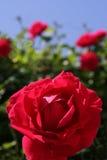 Rose espagnole Images libres de droits
