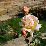 Rose especial fotografía de archivo
