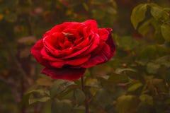 Rose et abeille rouges, fond vert-foncé photos stock