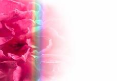 Rose et arc-en-ciel de rose Photographie stock libre de droits