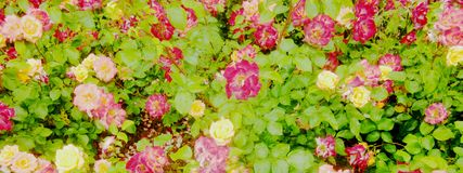 Rose et bannière rose jaune image libre de droits