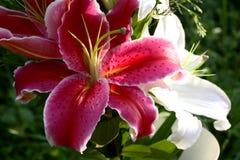 Rose et blanc Photo libre de droits
