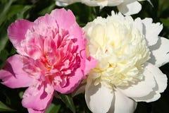Rose et blanc Photographie stock