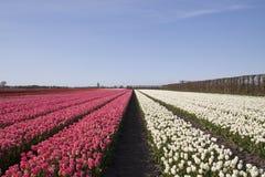 Rose et blanc Image libre de droits