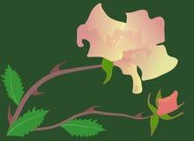 Rose et bourgeon Photos libres de droits