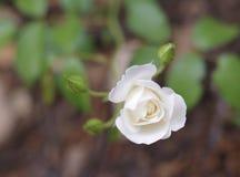 Rose et bourgeons de blanc Image stock