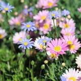 Rose et Daisy Flowers bleu-clair sur un pré en la Madère images stock