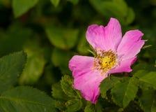 Rose et feuilles image libre de droits