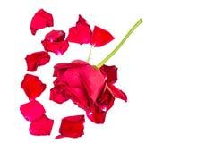 Rose et feuilles d'isolement fraîches au-dessus du fond blanc image stock