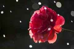 Rose et gouttes de pluie Images libres de droits