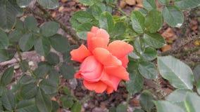 Rose rose et jaune Photo libre de droits