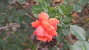 Rose rose et jaune Image stock