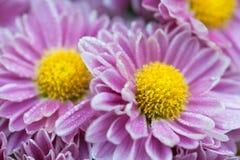 Rose et jaune Images libres de droits