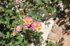 Rose et jaune de fleur de camara de Lantana Photos libres de droits