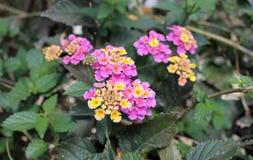 Rose et jaune de fleur de camara de Lantana Photos stock