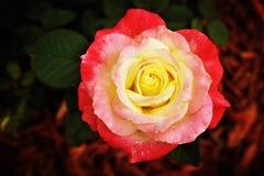 Rose rose et jaune sur le paillis rouge Image libre de droits