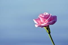Rose et l'eau Photographie stock