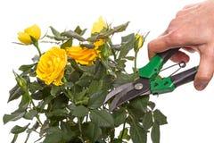Rose et main de jaune avec le secateur Image stock