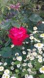 Rose et marguerites Photographie stock libre de droits