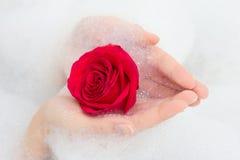 Rose et mousse de rouge dans des mains femelles photographie stock