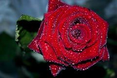 Rose et pétales rouges sur le fond foncé T?te de rose de rouge sur le macro avec de petites gouttes de l'eau image libre de droits