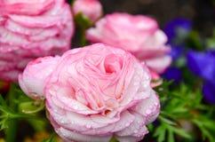 Rose et rosée dans le jardin Images stock