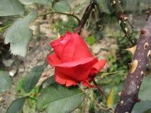 Rose et trônes de rouge Photo stock