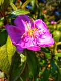 Rose evening primrose or oenothera rosea or rose of mexico in garden. stock image