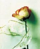 Rose für Romance Stockfoto