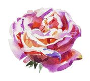 Rose faite main d'aquarelle d'isolement sur le fond blanc Image stock