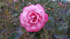 Rose In Fall. Single rose bloom with fall foliage and rosebushes Stock Image