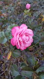 Rose In Fall. Single rose bloom with fall foliage and rosebushes stock photo