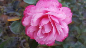Rose In Fall stock photo