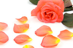 Rose with fallen leaves stock photography
