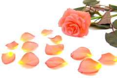 Rose with fallen leaves Stock Images