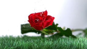 Rose falling and boucing on a green ground Stock Photo
