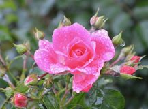 Rose Family, Flower, Floribunda, Rose Royalty Free Stock Image