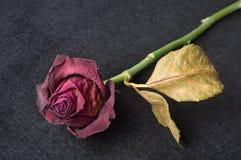 Rose fanée de rouge au-dessus de fond foncé Photo stock