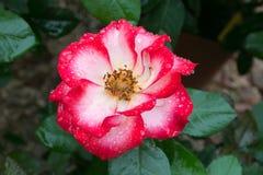 Rose fantastique de blanc avec les nuances et les gouttes de pluie rouges Image libre de droits