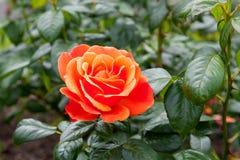 Rose Fellowship royalty-vrije stock afbeeldingen