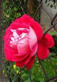Rose in the fence Royalty Free Stock Photography