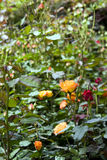 Rose field. Beautiful rose field in spring time ,color in yellow Stock Photography
