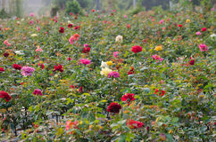 Rose field Stock Photography