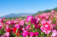 Rose field Stock Photo