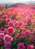 Rose field Royalty Free Stock Photos