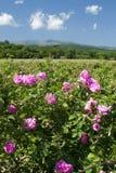 Rose fields Stock Photos